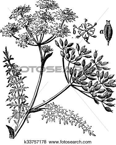 Clip Art of Caraway or Carum carvi vintage engraving k33757178.