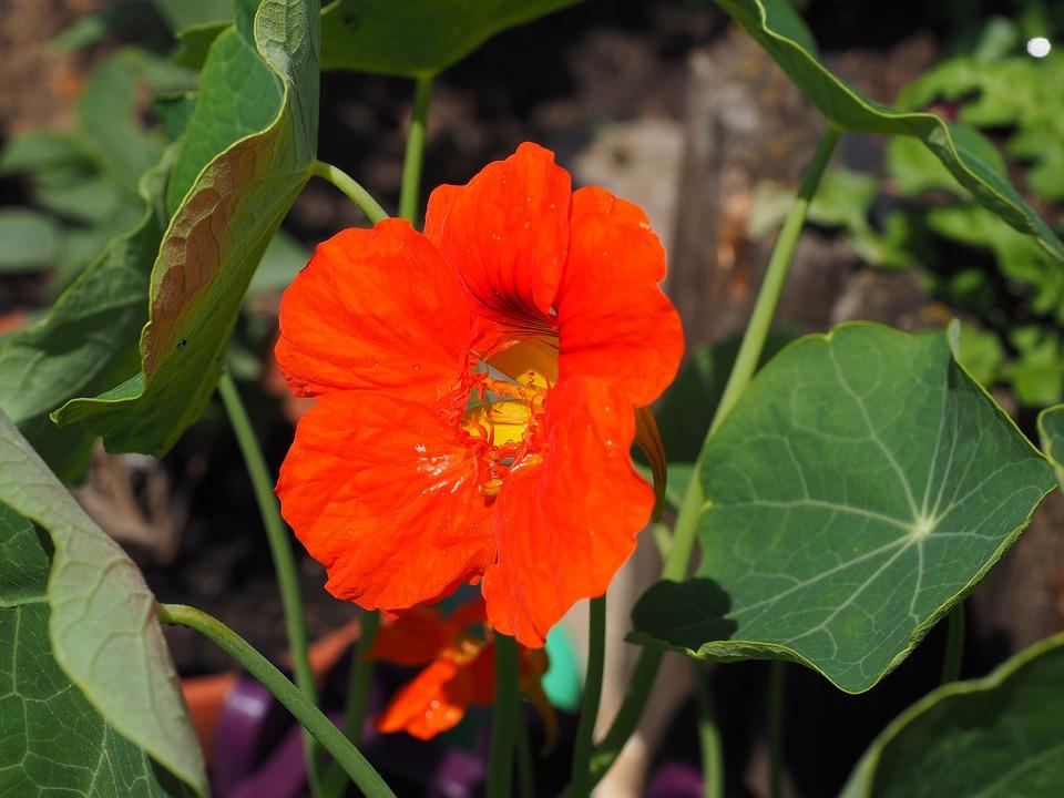 Free photo Bloom Cress Carbine Greenhouse Nasturtium Blossom.