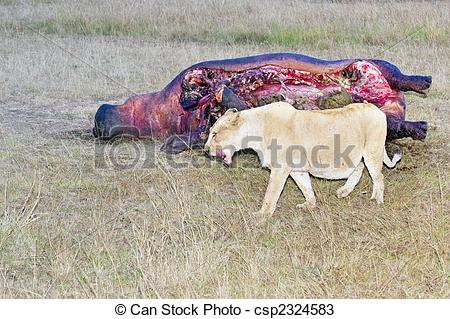 Stock Photos of Lioness lick her mouth while passing hippo carcass.