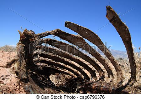 Stock Image of dead sheep rib cage.