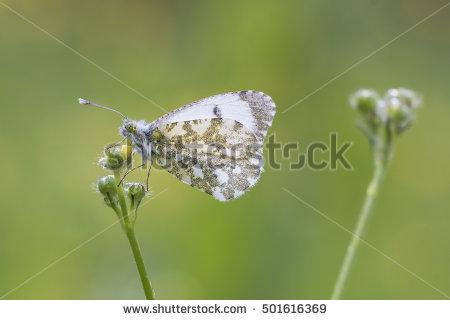 Lepidopteran Stock Photos, Royalty.