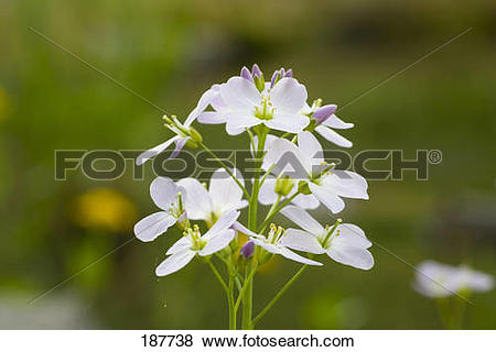Pictures of Cuckoo Flower, Lady's Smock (Cardamine pratensis.