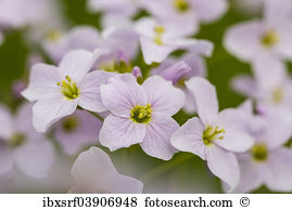 Cardamine pratensis Stock Photos and Images. 120 cardamine.