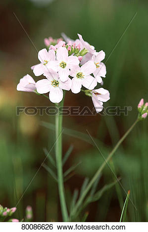 Stock Images of DEU, 2003: Cuckoo Flower, Lady's Smock (Cardamine.