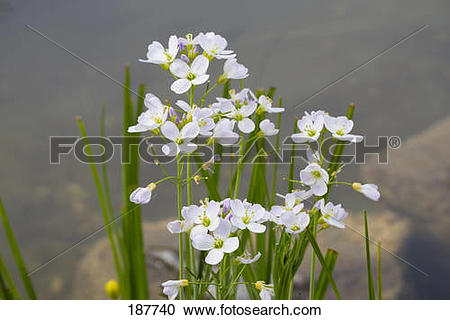 Stock Photography of Cuckoo Flower, Lady's Smock (Cardamine.