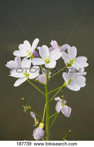 Stock Photograph of Cuckoo Flower, Lady's Smock (Cardamine.