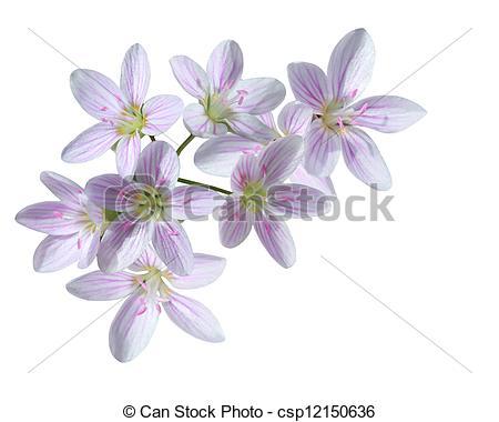 Stock Photos of Cardamine Pratensis Flower.