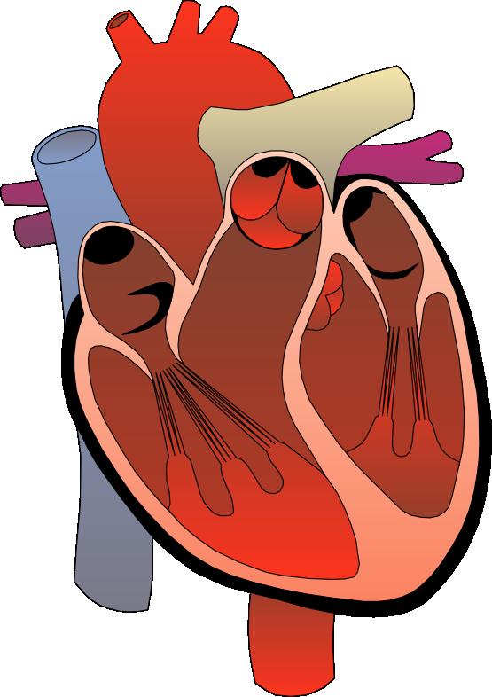 Cardiac Clip Art.