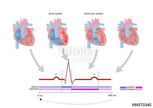 "ciclo di contrazione cardiaca"" Stock image and royalty."