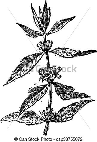 Vectors Illustration of Motherwort or Leonurus cardiaca, vintage.