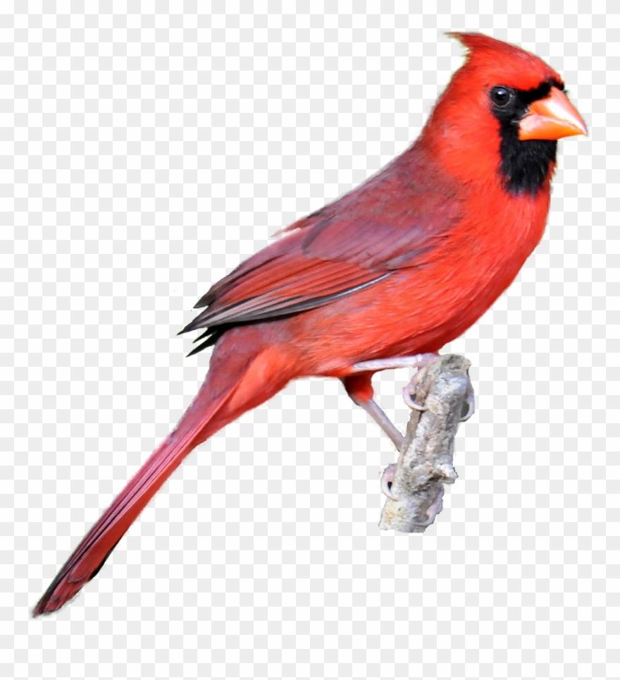 Winter Cardinal Bird Clipart Clip Art Library Classroom.