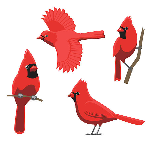Best Cardinal Bird Illustrations, Royalty.