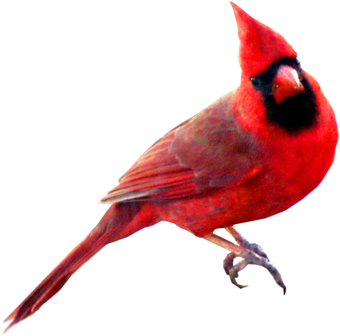Winter Cardinal Bird Clipart.