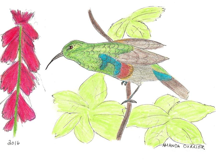 Hummingbird Eying Cardinal Flower Drawing by Amanda Currier.