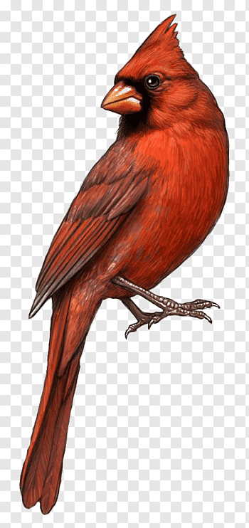 St Louis Cardinals cutout PNG & clipart images.