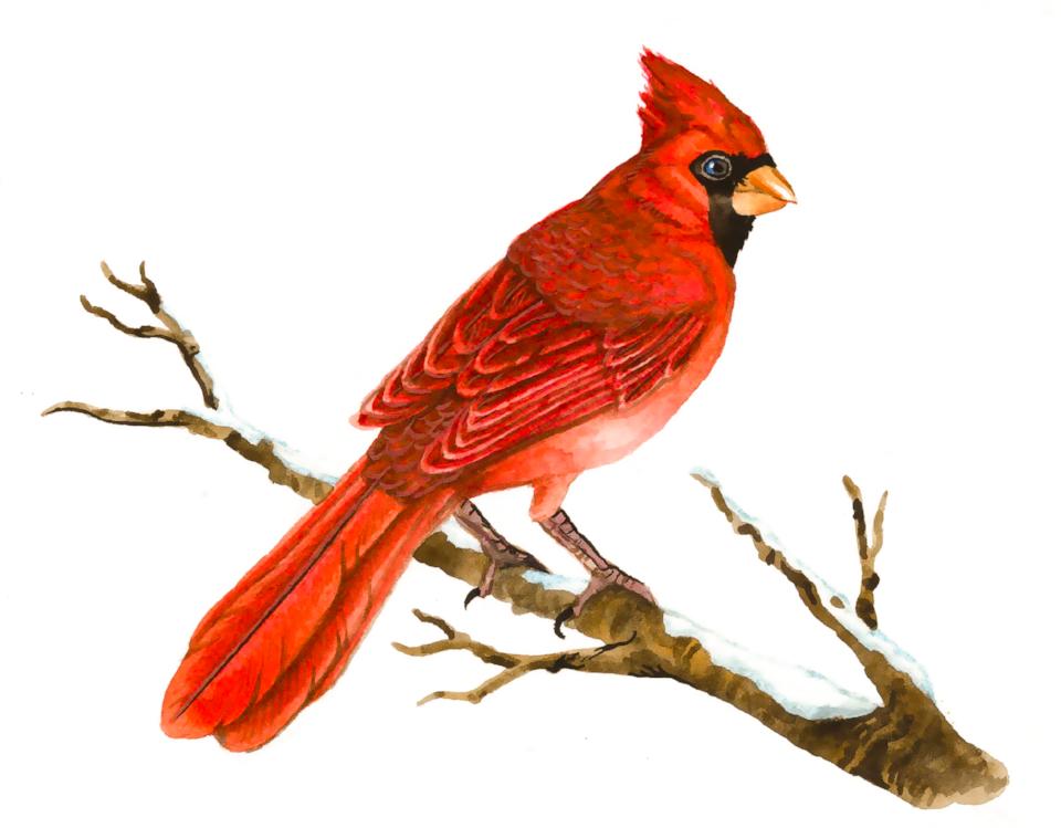 Cardinal Png & Free Cardinal.png Transparent Images #2420.