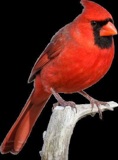 Download Free png Cardinal Png.