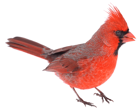 Bird,Vertebrate,Northern Cardinal,Beak,Cardinal,Red,Songbird.
