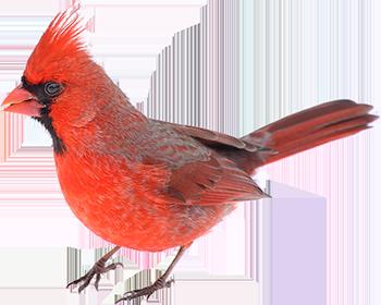 Cardinal Bird Png Vector, Clipart, PSD.