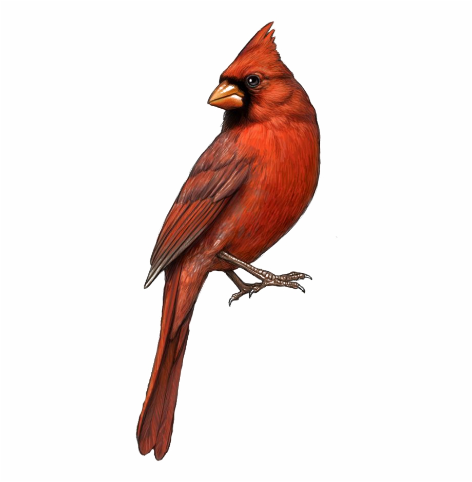 Bird St Louis Cardinals Northern Clip Art.