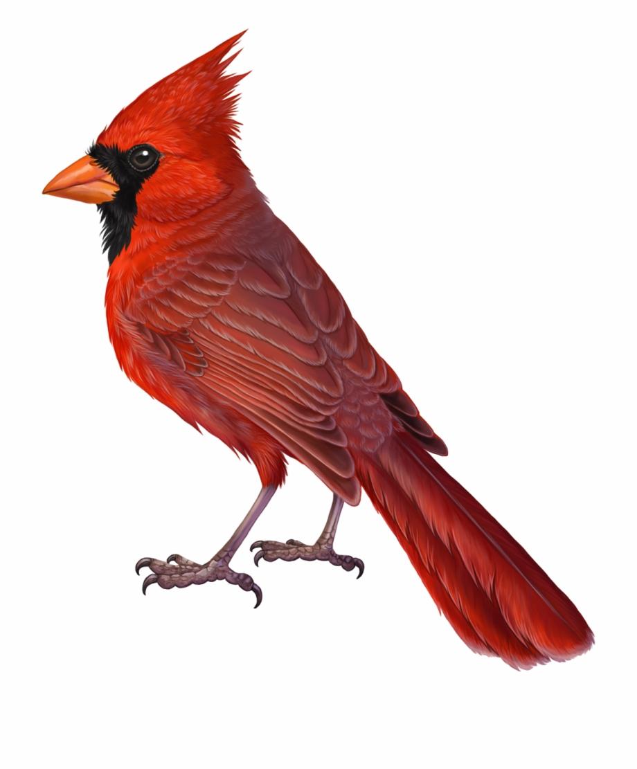 Cardinal Png.