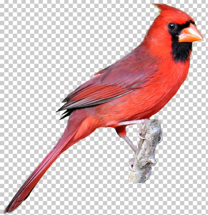 Northern Cardinal Bird Drawing PNG, Clipart, Beak, Bird, Cardinal.