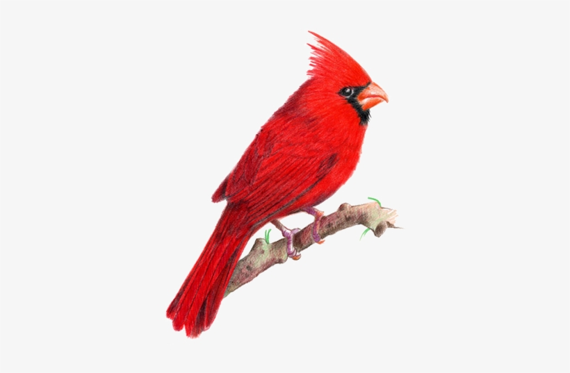 Northern Cardinal PNG Images.
