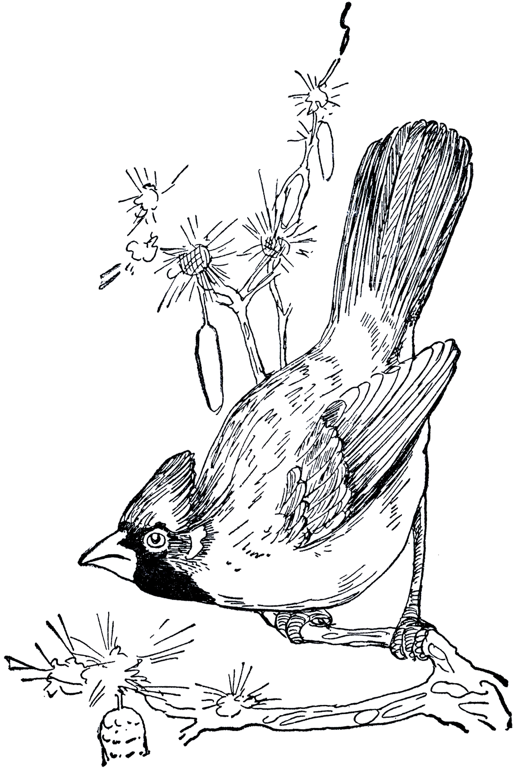 Vintage Cardinal Drawing.