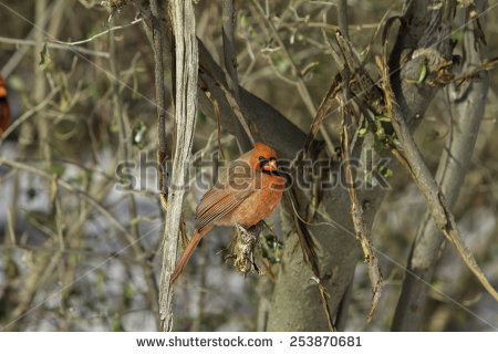Cardinalidae Stock Photos, Royalty.