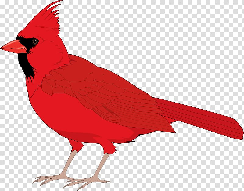 Northern cardinal St. Louis Cardinals , Free Bird transparent.