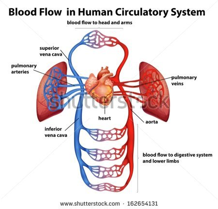 Cardiovascular System Stock Images, Royalty.