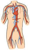 Clip Art of Heart and circulatory system, feline mva26002.