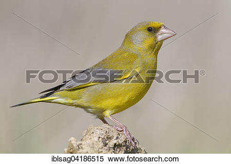 Stock Image of Greenfinch (Carduelis chloris), adult male perched.