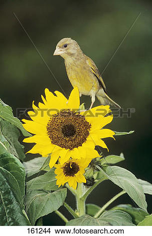 Stock Photo of European Greenfinch on sunflower / Carduelis.