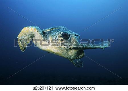 Stock Photography of Loggerhead turtle (caretta caretta) drifting.