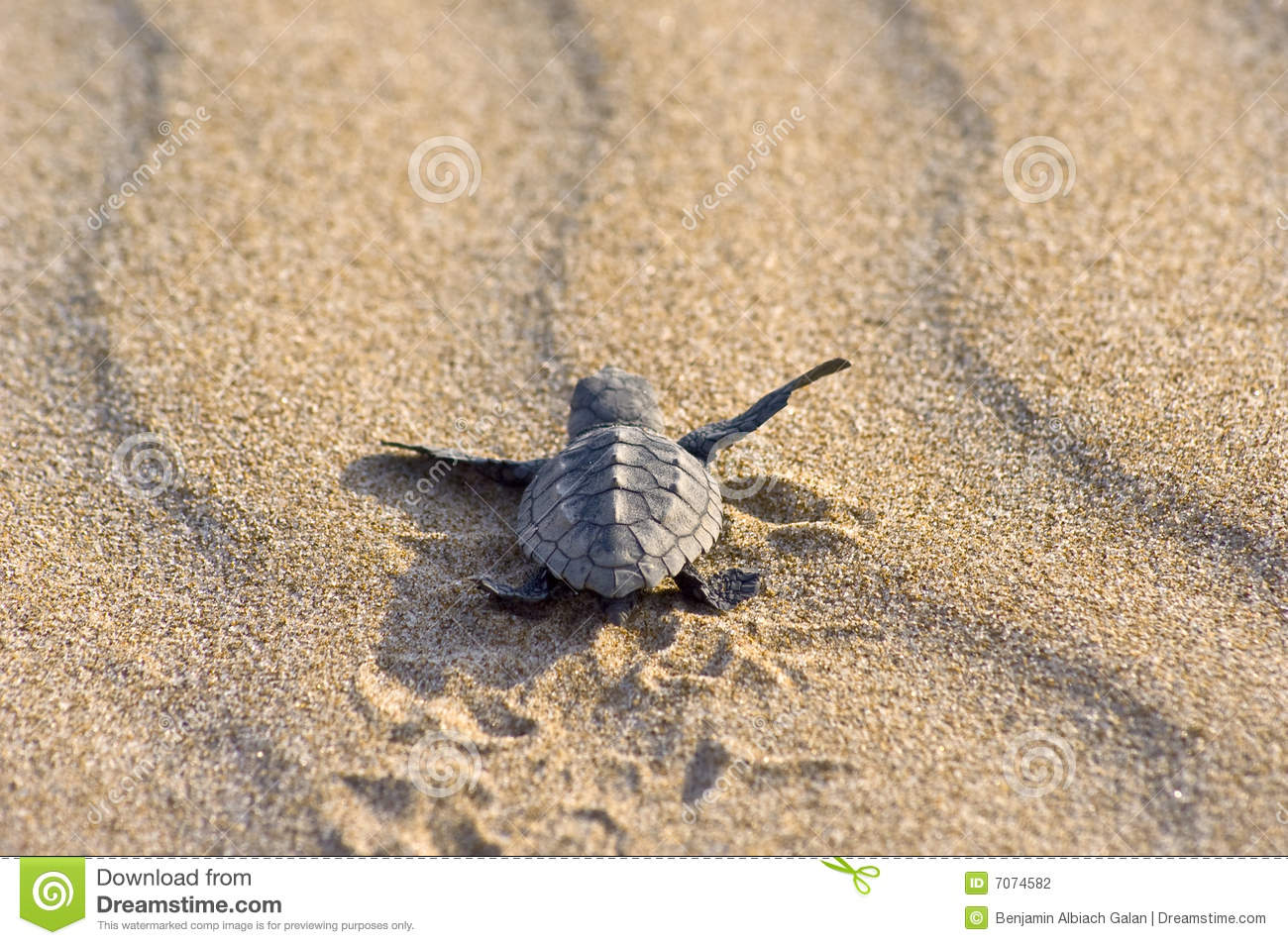 Loggerhead Turtle Baby(Caretta Caretta) Stock Photography.