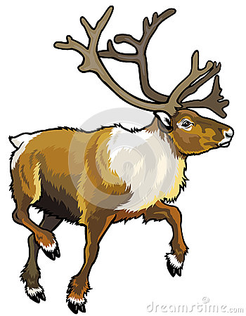 Caribou Stock Illustrations.