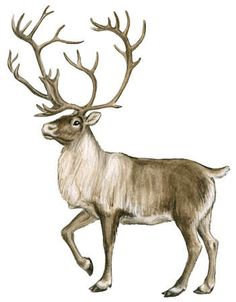 Caribou Animal Clipart.