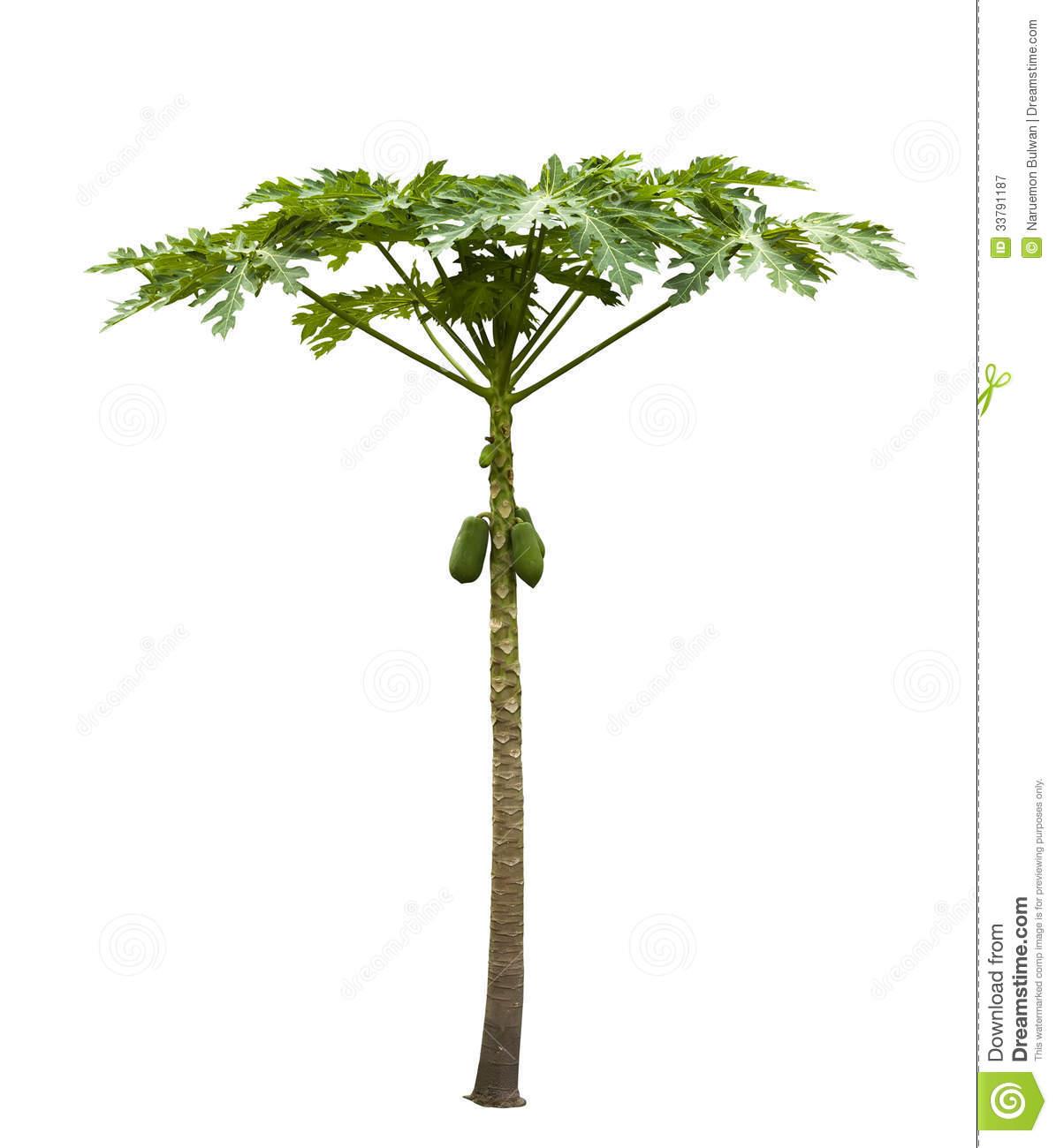 Papaya tree (Carica papaya).