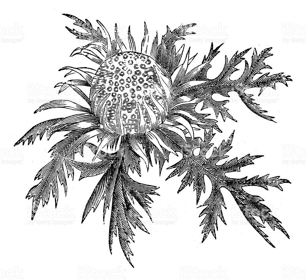 Antique Illustration Of Carlina Acaulis stock vector art 487905167.