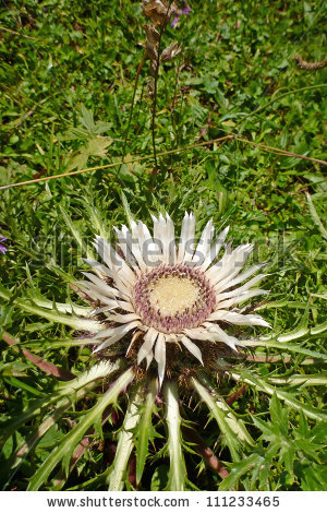 Carlina Acaulis Stock Photos, Royalty.