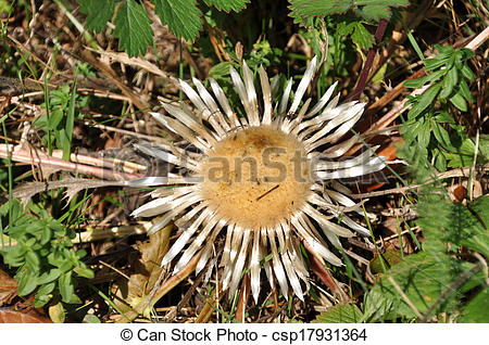Stock Image of Silver Thistle Carlina acaulis csp17931364.