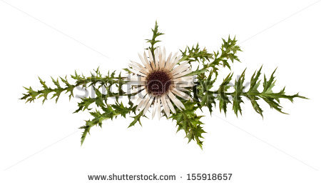 Carline Thistle Stock Photos, Images, & Pictures.