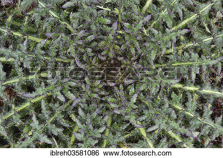 """Stock Images of """"Stemless Carline Thistle or Dwarf Carline Thistle."""