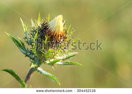 Carlina Vulgaris Stock Photos, Images, & Pictures.