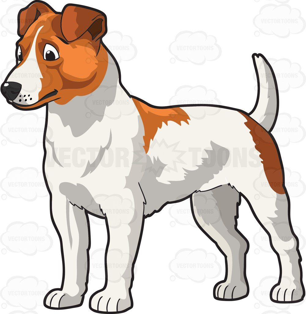 A cute and muscular Jack Russell Terrier #adorable #animal.