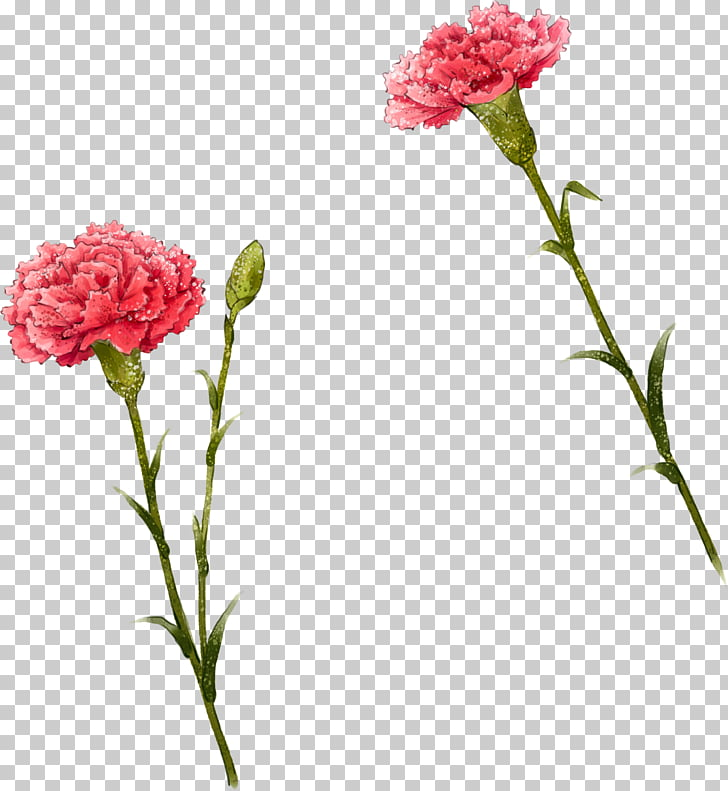 Carnation Flower Illustration, Cute i, pink carnation.