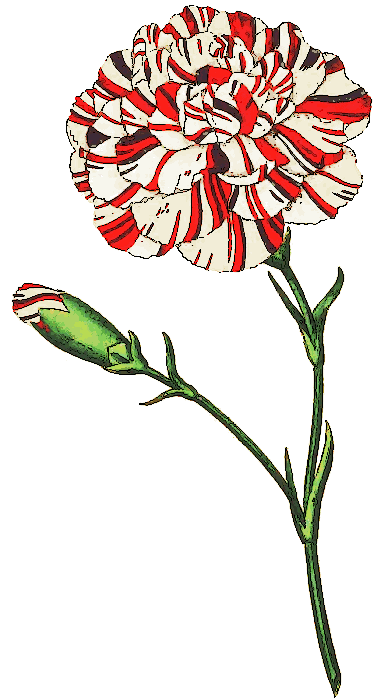 Free Carnation Clipart.