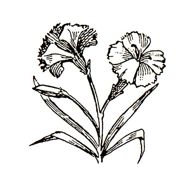 Free Carnation Clipart Black And White, Download Free Clip.