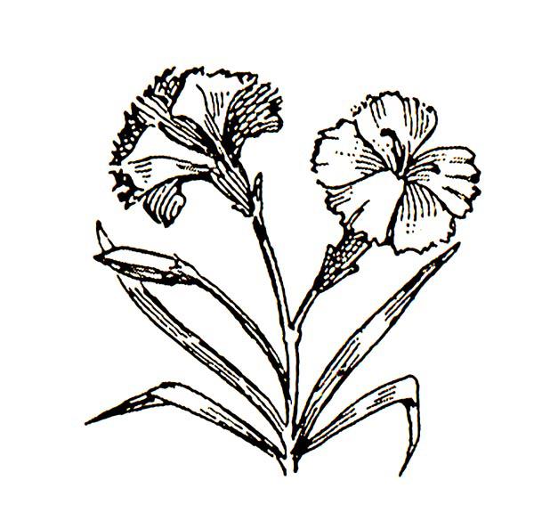 Carnation Flower Tattoo Designs.